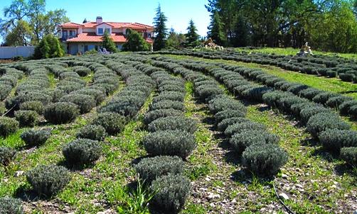 paso-robles-lavender-farm