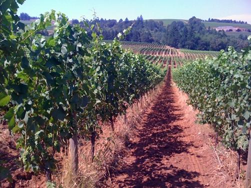 portland-Sokol-Blosser-Vine
