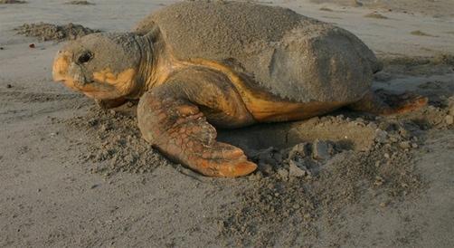 turtle-florida