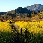 calistoga-mustard-field