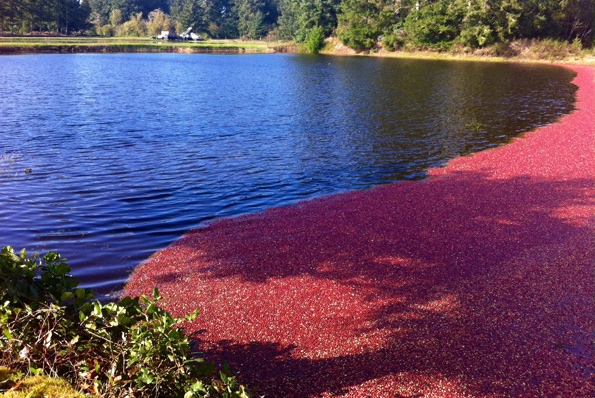 Long-Beach-Peninsula-cranberry-bog