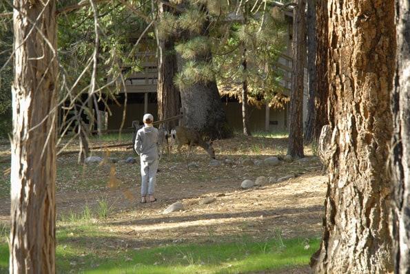Deer in Redwoods in Yosemite, California.