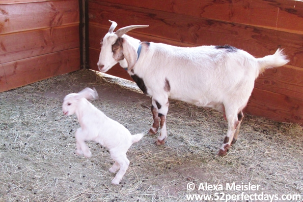 rankin-guest-ranch-petting-area-baby-goat