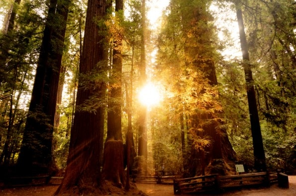 Redwood Forest in Santa Cruz, California at Sunset